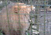 Puzzle lion beauval