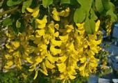 fleurs d'accacia jaune par helene