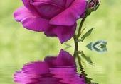 reflet de la rose