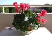 Cyclamen au soleil de Provence