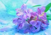 Harmonie de mauve et bleu