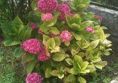 hortencia fleuris