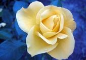 La fraîcheur d'une rose jaune
