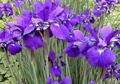 iris par hélène
