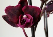 Phalaenopsis violet
