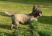 Plume,petite Cairn Terrier