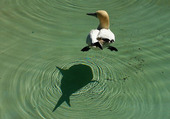 ombre canard