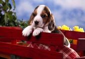 Un chiot beagle