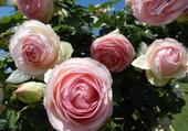 haie de rose par hélène