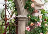 rosier grimpant par hélène