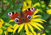 papillon par hélène