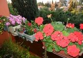 Fleurs de balconnière 1