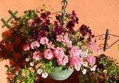 Surfinias et fleurs roses