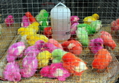 poussins multicolores