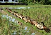 canards dans la riziere