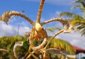 orchidee de Lifou