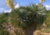 Yucca en fleurs