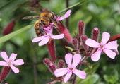 abeille butine2