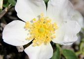 Puzzle fleur de montagne