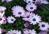 Jolies fleurs mauves