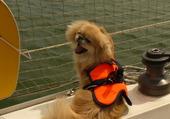 épagneul pékinois sur un voilier