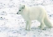 Loup sur de la neige