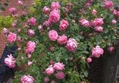 Puzzle un rosier