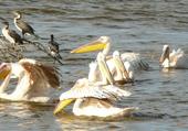 Pélicans et cormorans