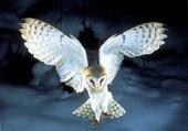 Puzzle Hiboux vol de nuit à l'aquarelle