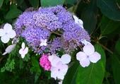 Joli hortensia