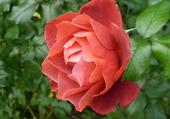 très belle rose de jardin