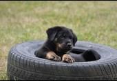 Chiot dans pneu