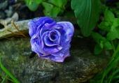 Rose violette en sous-bois