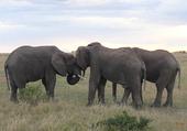 Puzzle Calins d'éléphants