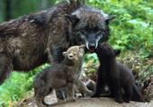 maman et ses petits louveteaux