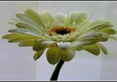 Gerbera blanc