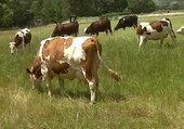 vaches dans un prés