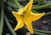 fleur de courgette.