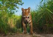 Le sourire du tigre