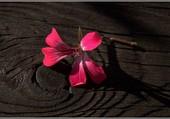 Fleur de géranium.