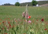 Fleures en Hte Prov. 04