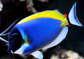 Puzzle poisson bleu