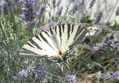 Papillon parmi les lavandes