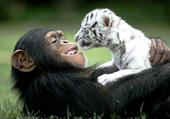 amitié singe et tigre blanc