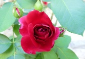 Rose Tempo