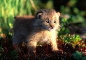 bébé lynx- découverte...