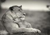 lionceau, calin à maman