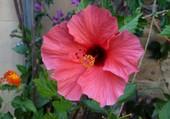 Un hibiscus