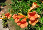 Bignone de mon jardin