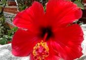 hibiscus se dorant au soleil